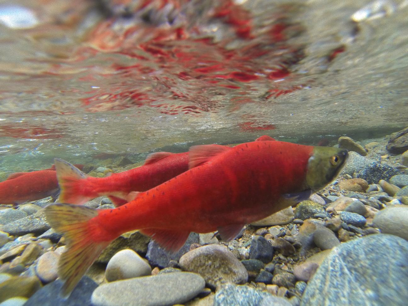 how to catch kokanee salmon
